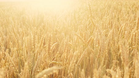 maltês : Craft beer production. Field of golden barley. Organic malt harvesting Stock Footage