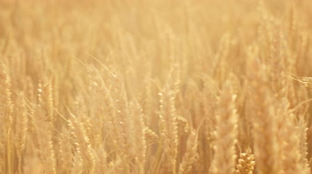 fruitful : Crop harvesting. Yellow field of rye or wheat moving in the wind. Grain production Stock Footage