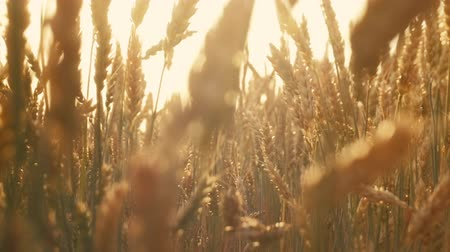 fruitful : Agriculture and food production. Yellow field of rye or wheat spikelets. Sun flares Stock Footage