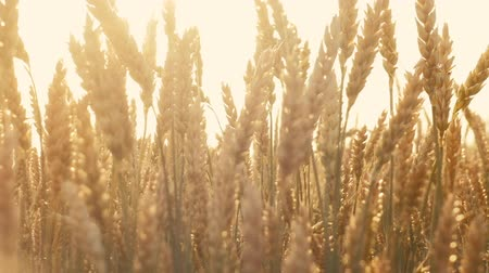 fruitful : Beauty of nature. Sunlit stems of rye or wheat moving in the wind. Sunny lens flares.