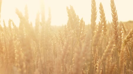 fruitful : Organic farming and harvesting. Barley malt growing for craft beer production. Sunlit grain stems in summer Stock Footage