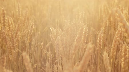 fruitful : Agriculture and food production.Yellow field of rye or wheat spikelets