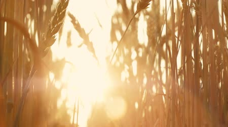 fruitful : Agriculture and harvest. Sunlit stems with golden spikelets. Grain production