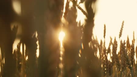 fruitful : Beauty of nature. Sunlit stems of rye or wheat. Sunny lens flares. Sliding shot of golden crop