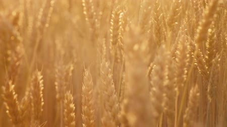 fértil : Farming industry. Golden rye or wheat in a field. Sliding shot among stems with spikelet
