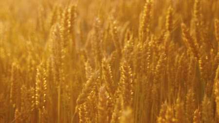 fruitful : Organic farming. Yellow field of rye or wheat. Stems with spikelets Stock Footage