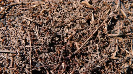 ground : Social community and ants cooperation. Intelligent insects colony moving in the ground Stock Footage