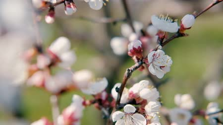 meruňka : Springtime bloom. White apricot tree flowers. Twigs with blossom