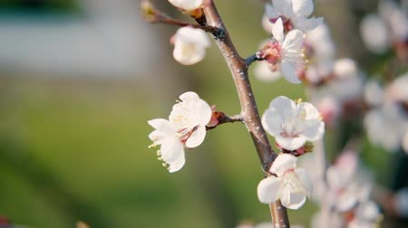 ciclo de vida : Apricot tree blooming. Nature in spring. White flowers on branches.