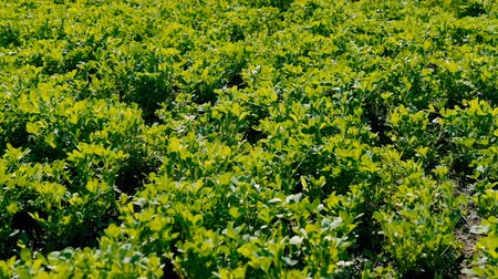 yeşil çimen : Agricultural farming. Lucern field. Agronomy and livestock feed production