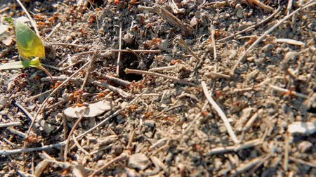 hardworking : Ecology fauna and wildlife. Colony of ants running and working in the ground. Stock Footage