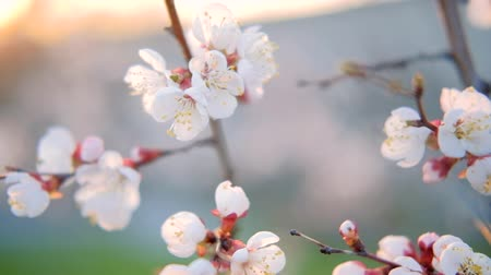 meruňka : Apricot tree blooming. Nature in spring. White flowers on branches.