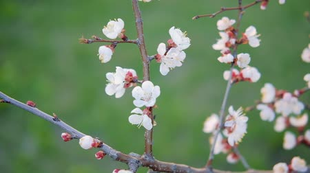абрикосы : Tender apricot bloom in spring. Flowering garden. White blossom on branches.