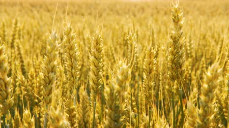fruitful : Golden rye or wheat in a field. Harvest time. Organic farming