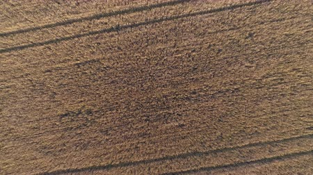 árpa : Aerial view of golden rye or wheat field. Agriculture and harvest season. Top view zoom out shot of countryside landscape