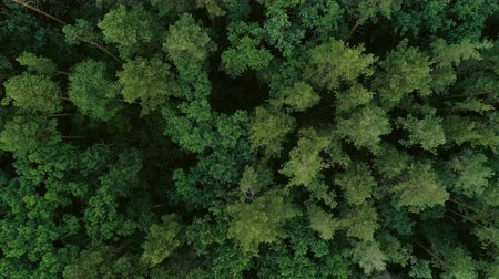 felling : Flying over tree tops. Green forest aerial view. Wildlife nature scenery