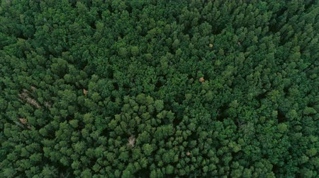 softwood forest : Forest aerial view. Green pine and spruce flyover. Lush trees plantation.