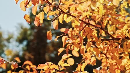 terça feira : Autumn foliage. Golden trees. Sunny day. Leaves sway in wind.