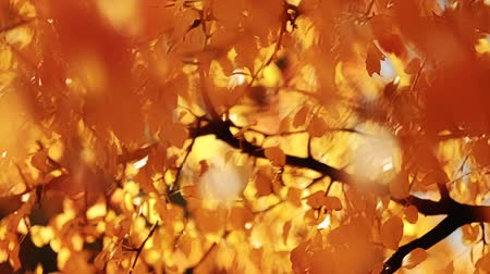 frágil : Autumn foliage beauty. Yellow tree leaves sway in wind. Sunny day.