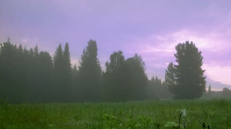 softwood forest : summer morning in foggy forest timelapse static and panning variants Stock Footage