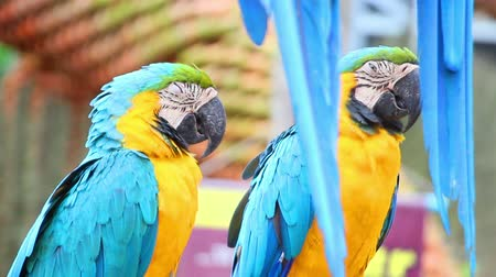 uykulu : sleepy colorful parrot macaw on branch Stok Video