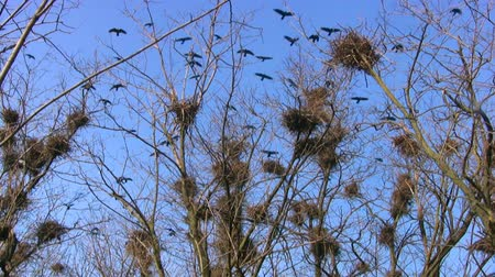 fészek : Spring. Sunny weather. A lot of black birds flying around. Many nests