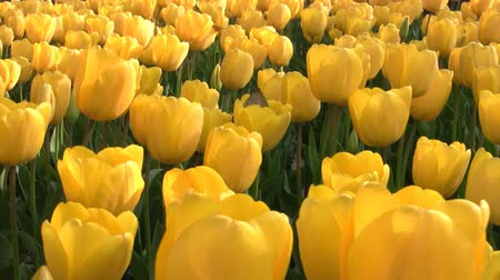 tulipán : Camcorder moves slowly along the flower beds with bright yellow tulips. Close-up Stock mozgókép