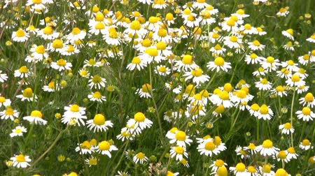 százszorszép : Lots and lots of daisies (camomile) tremble in the breeze among the green the grass on a bright sunny day