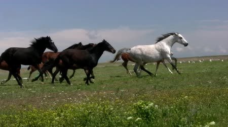 stádo : Herd of horses running on the steppes in the background cloudy sky. Slow motion Dostupné videozáznamy