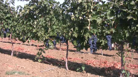 cultivar : Sunny cloudless sky. View moves along the grapevine, focuses on individual plants and close to it. Shows some clusters of black grapes