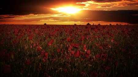 haşhaş : Endless field with blooming red poppies. Evening. Dramatic sky with clouds and sunset over the field Stok Video