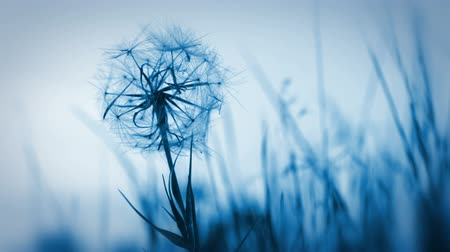 dmuchawiec : Evening. Dandelion is shaking in the wind. Herbal background without focus