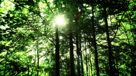 napfény : Dense beech forest. Summer. Sunlight streams through the foliage