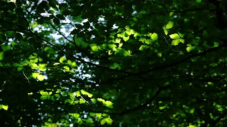 lombhullató : Dense deciduous forest. Leaves tremble in the wind in the sun Stock mozgókép