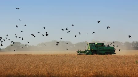 colheita : Summer. Cloudless day. Harvesting. Harvester moves through the field. A flock of flying birds