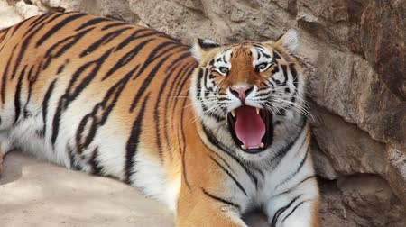 tigris : Summer. Zoo. An adult tiger resting after dinner and yawns