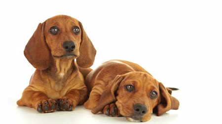 щенок : Dachshund puppies. One puppy is calm. The second puppy shakes his head. White background