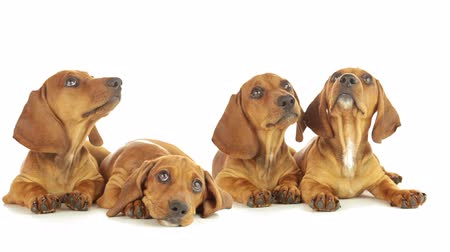 щенок : Young dachshunds are lying on a white background. Puppies are looking up, yawning, licking each other