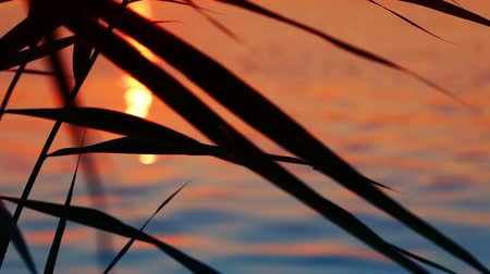 reflexão : Sunset reflected in a calm water. Silhouettes of grass in the foreground