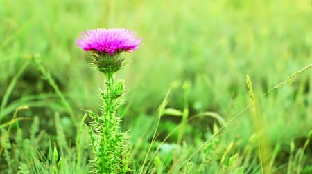 silybum : Summer. Background with prairie grasses. Thistle flower Stock Footage