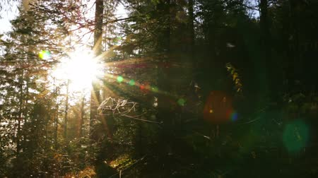 güneş ışını : Early morning. Bright sun rays break through the thick spruce branches. Lens flare