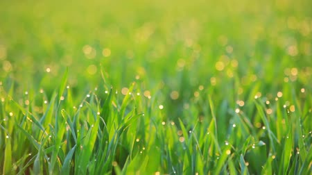 freshness background : Early in the morning. The sun is shining drops of dew on the grass. Seamless loop