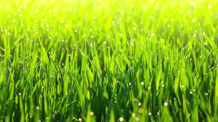 трава : Grassland. Morning dew on the grass with bokeh. Sunlight. A gentle breeze stirs fresh green grass Стоковые видеозаписи