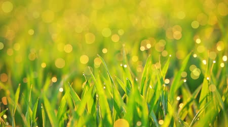 gota de chuva : Background with young green grass. Early morning and the dew drops on the tips of grass blades. Particles fly randomly in the rays of the sun