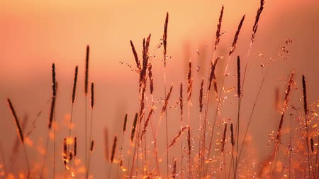 szellő : Field grass close up. Back sunlight. The light breeze