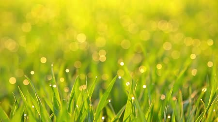 doğa : Meadow in the rays of the sun. Drops of fresh green grass.