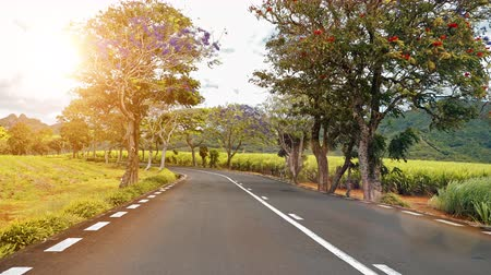 Riding along a road with flowering trees. Trees in bloom and sugar cane plantations on a quite road among green hills landscape, Mauritius