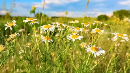 Meadow of chamomile flowers. Beautiful view of meadow of chamomile flowers at summer sunny day 影像素材