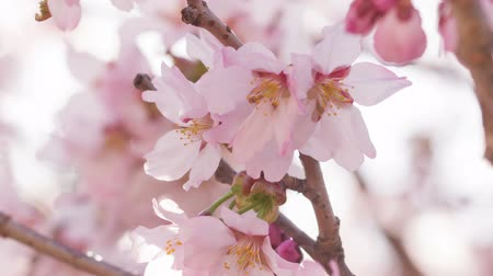 lente : Close-up van video van sakura cherry blossom, gemaakt van ruwe video Stockvideo