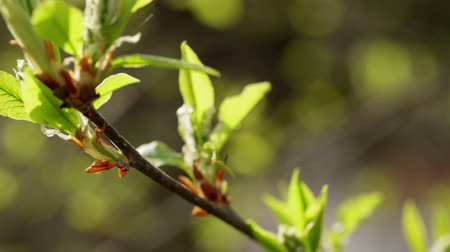 nascer do sol : new bird-cherry leaves in morning spring sunlight, made from raw